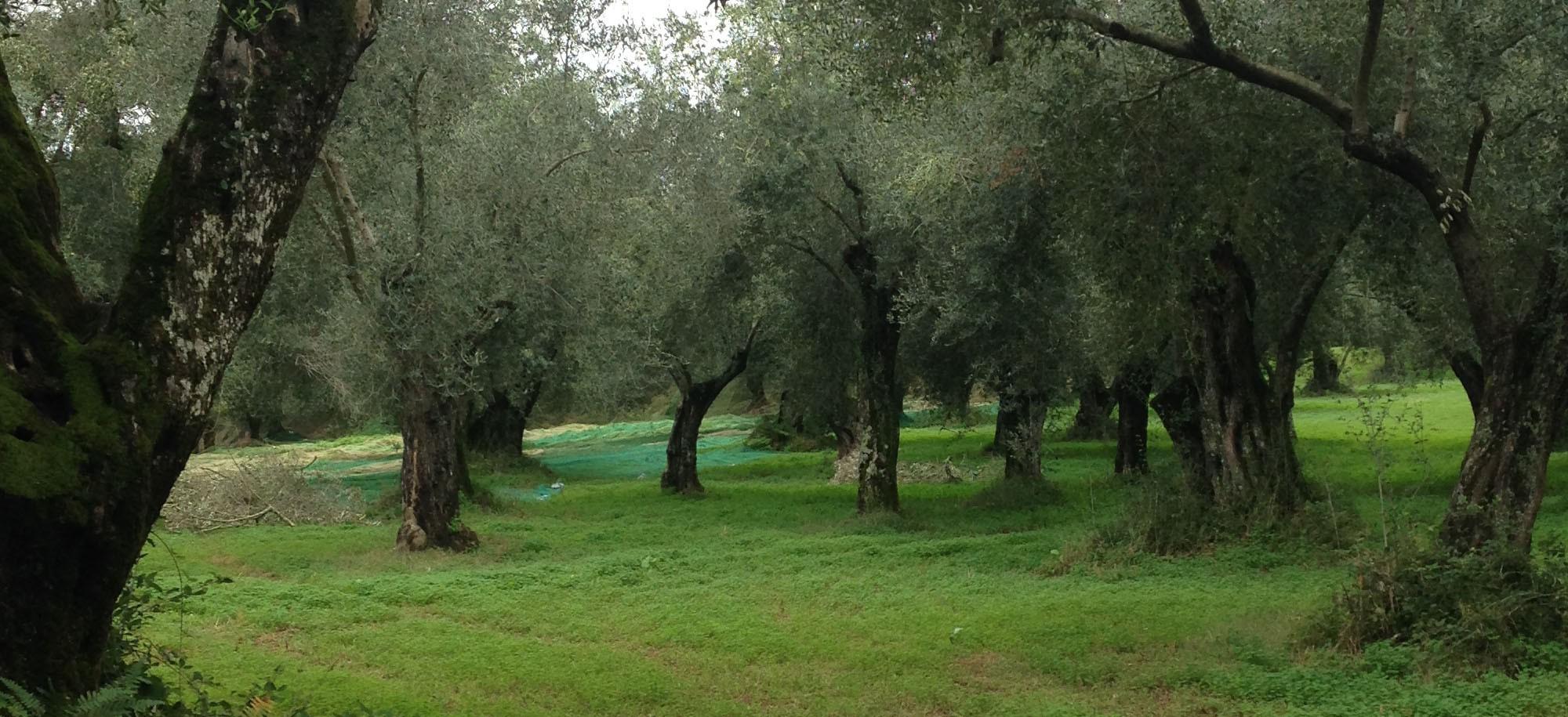 olio extravergine di oliva bio biologico EVO GAS gruppo di acquisto solidale grillo verde calabria